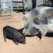 Grazin Pig Acres