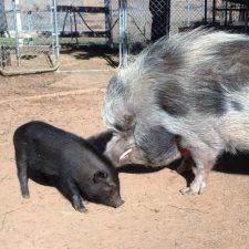Grazin Pig Acres